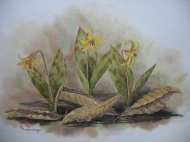 painting of dogtooth violet plant